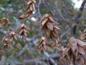 アサダの種子