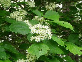 クロミサンザシの花