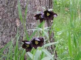クロユリの花