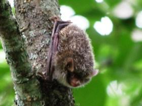 ハシドイの幹に飛び移ったコウモリ