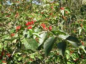 ネムロブシダマの果実