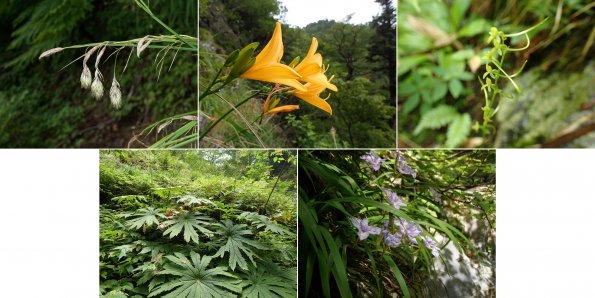 芦生研究林における希少植物種域外保全プロジェクトについて